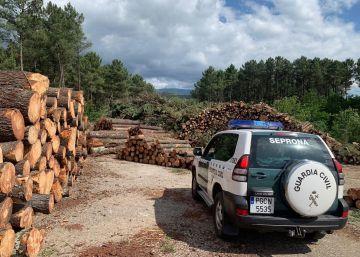 Cae una organización gallega que vendió más de 6.000 toneladas de madera de pino infectada