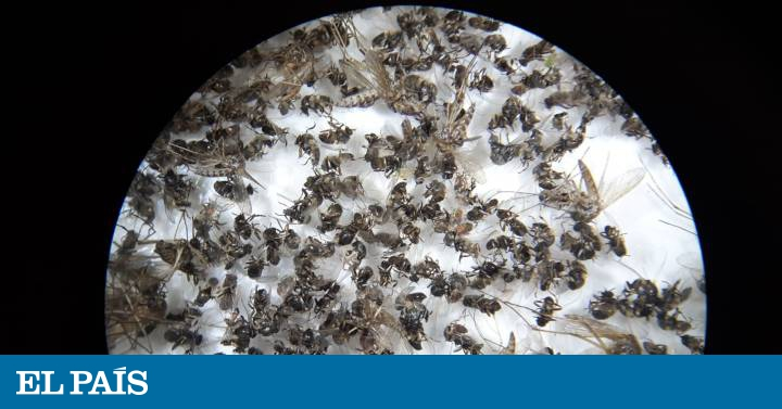 The black fly, the plague that lurks in the Spanish rivers | Society