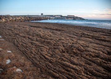 Un alga asiática amenaza la biodiversidad andaluza