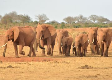 Así previene la inteligencia artificial la caza furtiva de elefantes en África o detecta infecciones emergentes